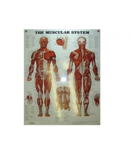 Muscular system (anglais)